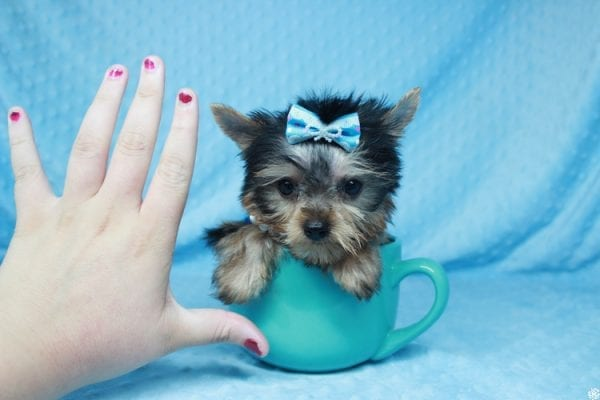 Ant-Man - Tiny Teacup Yorkie Puppy has found a good loving home with Dawn from Las Vegas, NV 89117.-25056