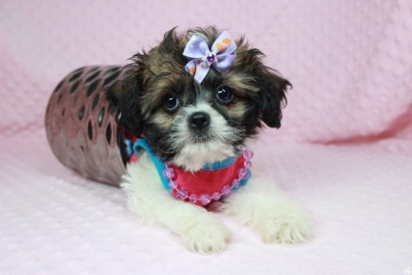 Bella - Teacup Shih-Chi has found a good loving home with Deanna & Kristina from Las Vegas, NV 89129.-24935