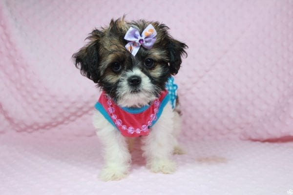 Bella - Teacup Shih-Chi has found a good loving home with Deanna & Kristina from Las Vegas, NV 89129.-24928