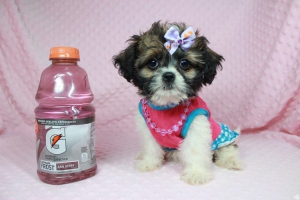 Bella - Teacup Shih-Chi has found a good loving home with Deanna & Kristina from Las Vegas, NV 89129.-24929