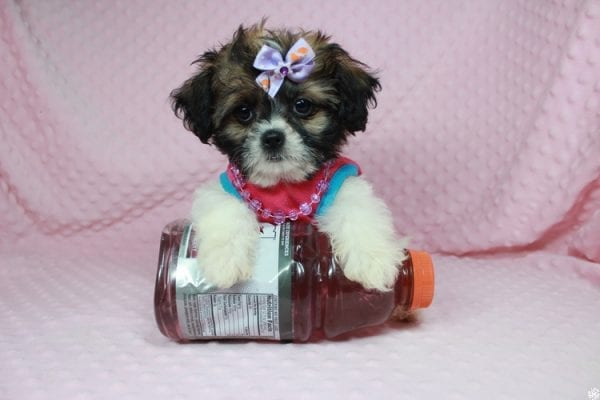 Bella - Teacup Shih-Chi has found a good loving home with Deanna & Kristina from Las Vegas, NV 89129.-24930
