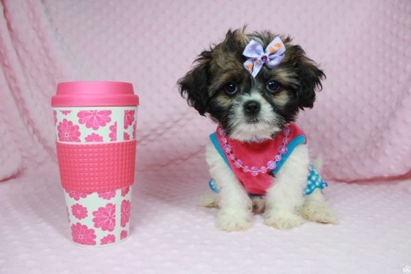 Bella - Teacup Shih-Chi has found a good loving home with Deanna & Kristina from Las Vegas, NV 89129.-0