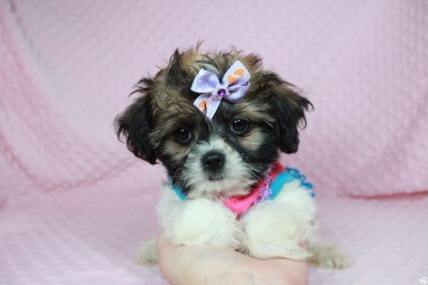 Bella - Teacup Shih-Chi has found a good loving home with Deanna & Kristina from Las Vegas, NV 89129.-24933