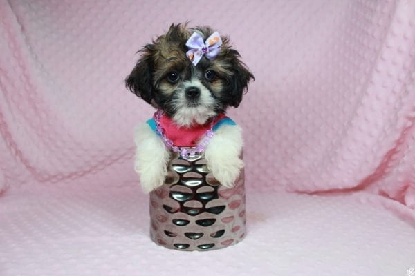 Bella - Teacup Shih-Chi has found a good loving home with Deanna & Kristina from Las Vegas, NV 89129.-24934