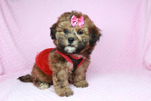 Betty Boop - Toy Malshi Puppy has found a good loving home with Milissa from Las Vegas, NV 89166-25004