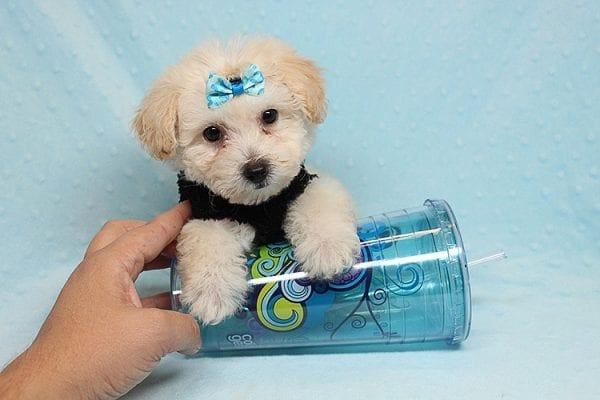 BFF - Teacup Maltipoo Puppy found a loving home with Desiree I from Los Angeles CA 91605-0