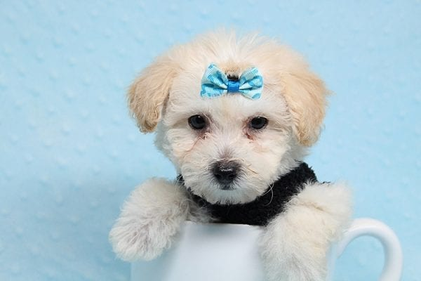 BFF - Teacup Maltipoo Puppy found a loving home with Desiree I from Los Angeles CA 91605-25296
