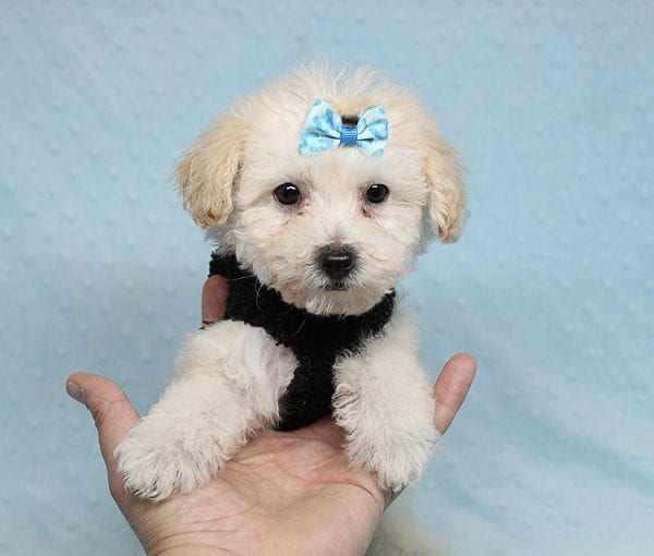 BFF - Teacup Maltipoo Puppy found a loving home with Desiree I from Los Angeles CA 91605-25297