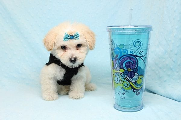 BFF - Teacup Maltipoo Puppy found a loving home with Desiree I from Los Angeles CA 91605-25292