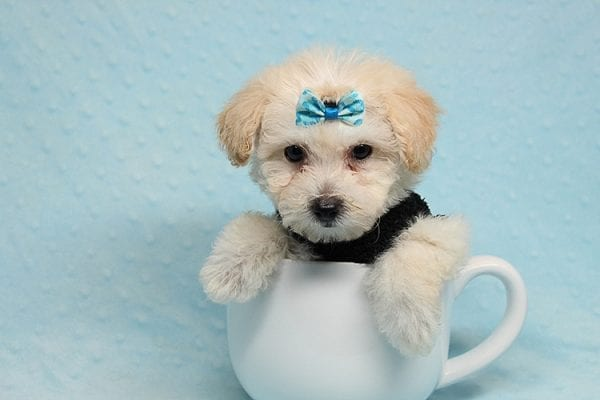 BFF - Teacup Maltipoo Puppy found a loving home with Desiree I from Los Angeles CA 91605-25291
