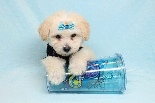 BFF - Teacup Maltipoo Puppy found a loving home with Desiree I from Los Angeles CA 91605-25293