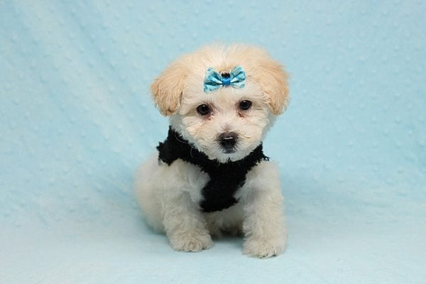 BFF - Teacup Maltipoo Puppy found a loving home with Desiree I from Los Angeles CA 91605-25295