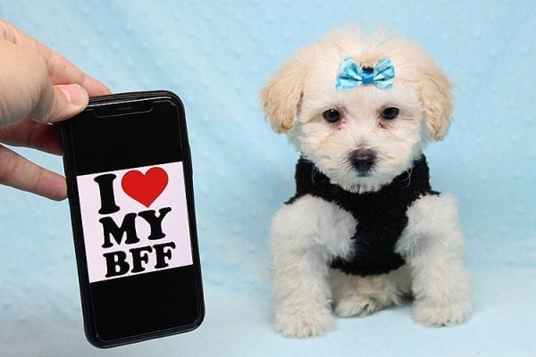 BFF - Teacup Maltipoo Puppy found a loving home with Desiree I from Los Angeles CA 91605-25294