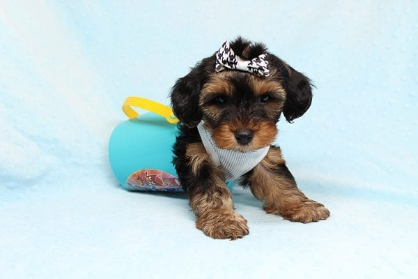Big Boy - Toy Morkie Puppy Found His Good Loving Home With Natalie J. In Simi Valley Ca, 93065 -0