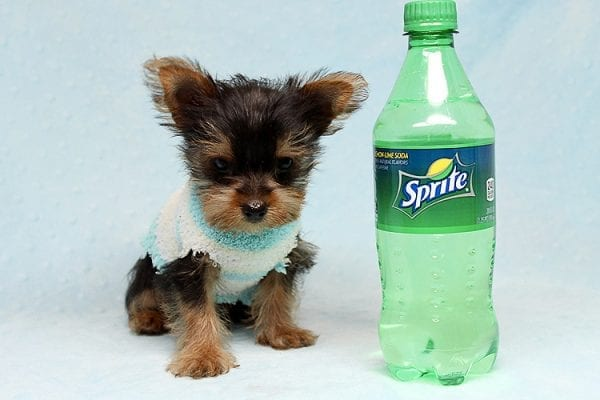 Brad Pitt - Tiny Teacup Yorkie Puppy has found a good loving home with Roy from Fort Mohave, AZ 86426.-25192