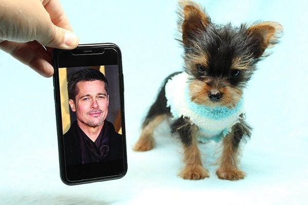 Brad Pitt - Tiny Teacup Yorkie Puppy has found a good loving home with Roy from Fort Mohave, AZ 86426.-25194