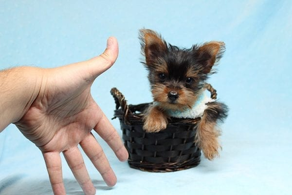 Brad Pitt - Tiny Teacup Yorkie Puppy has found a good loving home with Roy from Fort Mohave, AZ 86426.-25193