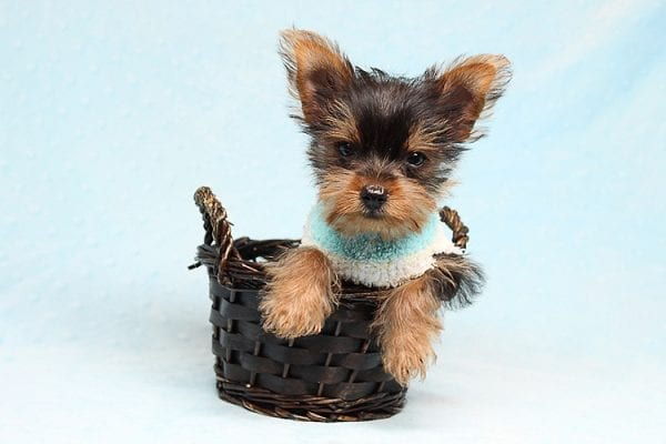Brad Pitt - Tiny Teacup Yorkie Puppy has found a good loving home with Roy from Fort Mohave, AZ 86426.-25190