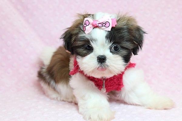 Bun Bun - Teacup Shih Tzu Puppy Found Her Good Loving Home With Patricia C. In Chula Vista CA, 91914-25247