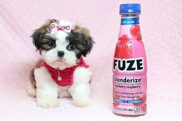 Bun Bun - Teacup Shih Tzu Puppy Found Her Good Loving Home With Patricia C. In Chula Vista CA, 91914-25248