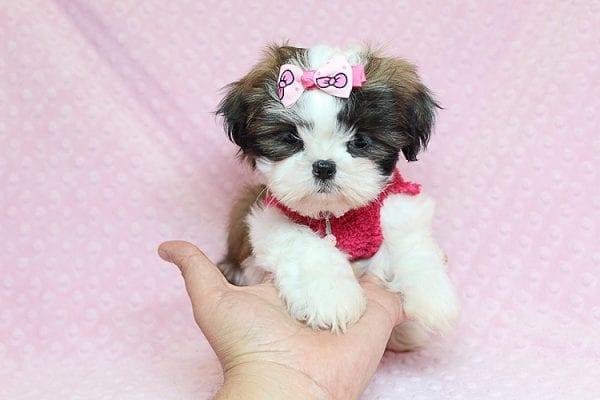 Bun Bun - Teacup Shih Tzu Puppy Found Her Good Loving Home With Patricia C. In Chula Vista CA, 91914-25249