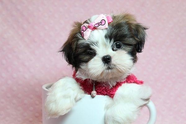 Bun Bun - Teacup Shih Tzu Puppy Found Her Good Loving Home With Patricia C. In Chula Vista CA, 91914-0