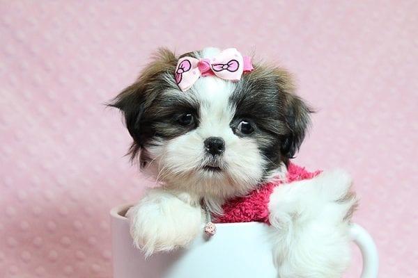 Bun Bun - Teacup Shih Tzu Puppy Found Her Good Loving Home With Patricia C. In Chula Vista CA, 91914-25251