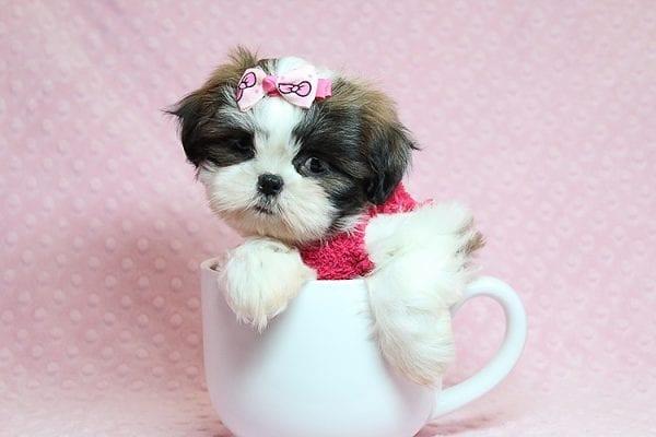 Bun Bun - Teacup Shih Tzu Puppy Found Her Good Loving Home With Patricia C. In Chula Vista CA, 91914-25252