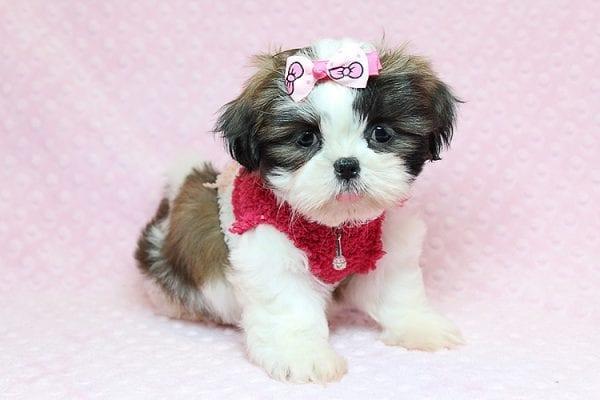Bun Bun - Teacup Shih Tzu Puppy Found Her Good Loving Home With Patricia C. In Chula Vista CA, 91914-25242