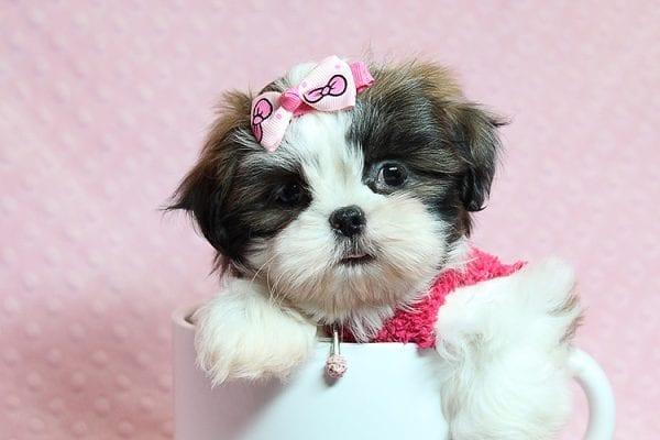 Bun Bun - Teacup Shih Tzu Puppy Found Her Good Loving Home With Patricia C. In Chula Vista CA, 91914-25253