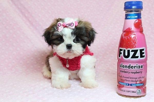 Bun Bun - Teacup Shih Tzu Puppy Found Her Good Loving Home With Patricia C. In Chula Vista CA, 91914-25243