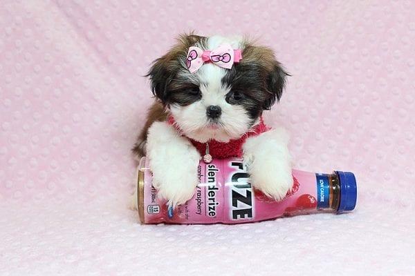 Bun Bun - Teacup Shih Tzu Puppy Found Her Good Loving Home With Patricia C. In Chula Vista CA, 91914-25244
