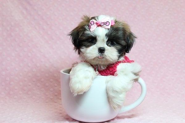 Bun Bun - Teacup Shih Tzu Puppy Found Her Good Loving Home With Patricia C. In Chula Vista CA, 91914-25245