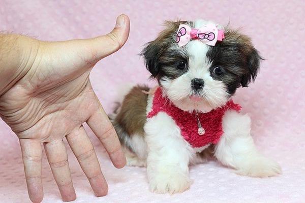 Bun Bun - Teacup Shih Tzu Puppy Found Her Good Loving Home With Patricia C. In Chula Vista CA, 91914-25246