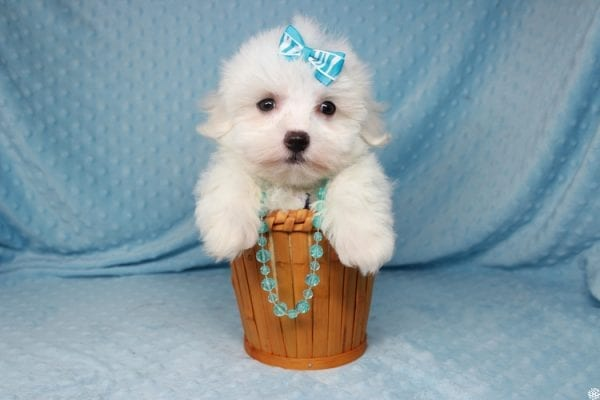Coconut - Teacup Maltese Puppy has found a good loving home with Gwyneth from Elk Grove, CA 95757-25067