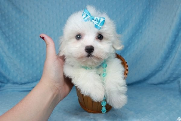 Coconut - Teacup Maltese Puppy has found a good loving home with Gwyneth from Elk Grove, CA 95757-25068