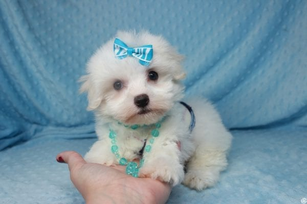 Coconut - Teacup Maltese Puppy has found a good loving home with Gwyneth from Elk Grove, CA 95757-0