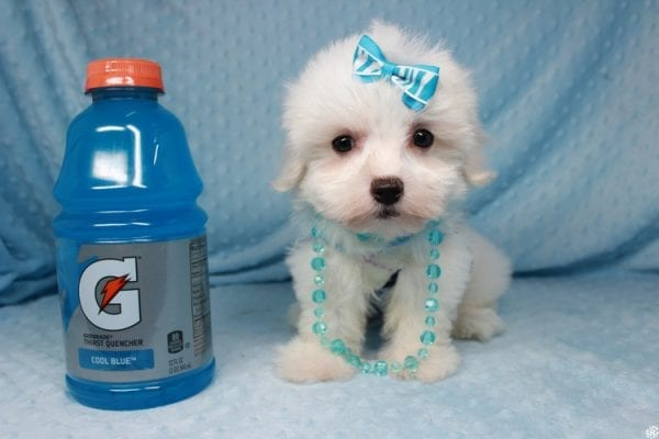 Coconut - Teacup Maltese Puppy has found a good loving home with Gwyneth from Elk Grove, CA 95757-25064