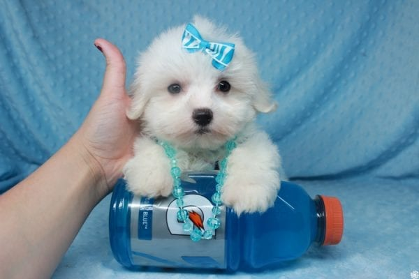 Coconut - Teacup Maltese Puppy has found a good loving home with Gwyneth from Elk Grove, CA 95757-25065