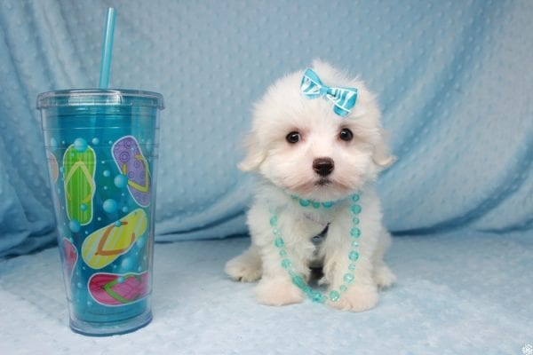 Coconut - Teacup Maltese Puppy has found a good loving home with Gwyneth from Elk Grove, CA 95757-25066