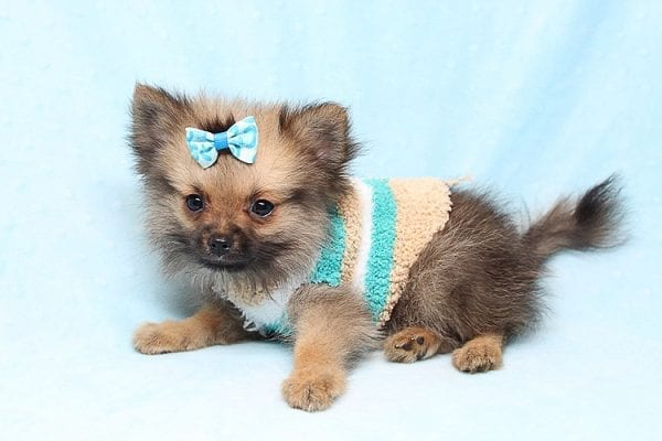Dark Voyager - Tiny Teacup Pomeranian Puppy Found His Good Loving Home With Rhonda C. In San Clemente CA, 92673-25178