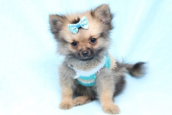 Dark Voyager - Tiny Teacup Pomeranian Puppy Found His Good Loving Home With Rhonda C. In San Clemente CA, 92673-25181