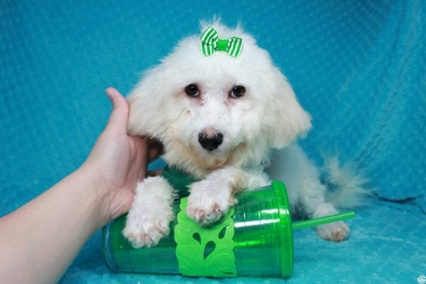 Family Guy- Toy Maltipoo Puppy has found a good loving home with Hong from Manteca, CA 95337-0