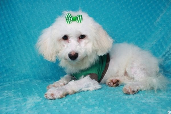 Family Guy- Toy Maltipoo Puppy has found a good loving home with Hong from Manteca, CA 95337-26052