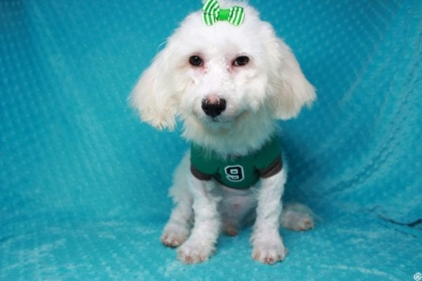 Family Guy- Toy Maltipoo Puppy has found a good loving home with Hong from Manteca, CA 95337-26048