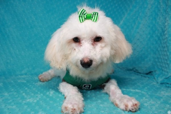 Family Guy- Toy Maltipoo Puppy has found a good loving home with Hong from Manteca, CA 95337-26047