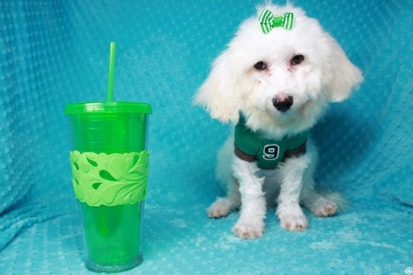 Family Guy- Toy Maltipoo Puppy has found a good loving home with Hong from Manteca, CA 95337-26050