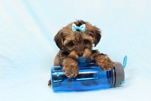 George Lopez - Teacup Morkie Puppy found a home with Majd B from Ventura CA 93004-24766