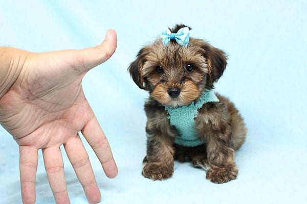 George Lopez - Teacup Morkie Puppy found a home with Majd B from Ventura CA 93004-24768