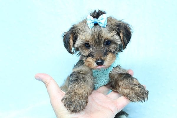 George Lopez - Teacup Morkie Puppy found a home with Majd B from Ventura CA 93004-24762